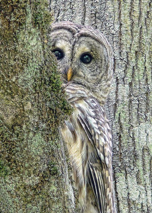 Owl Greeting Card featuring the photograph Barred Owl Peek A Boo by Jennie Marie Schell