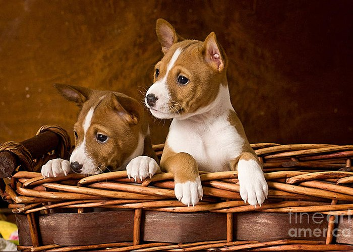 Basenji Paintings Greeting Card featuring the mixed media Basenji Puppies by Marvin Blaine