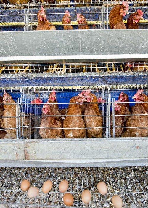 Agricultural Greeting Card featuring the photograph Battery Hens On A Farm by Science Photo Library