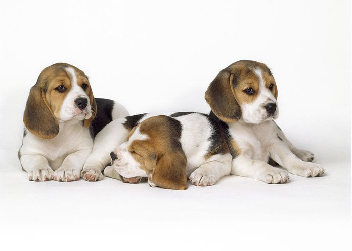 Beagle Greeting Card featuring the photograph Beagle Puppies, Row Of Three, Second by John Daniels
