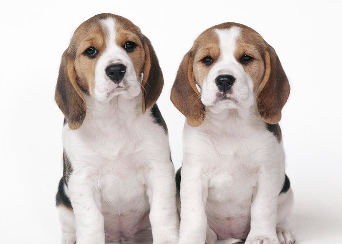 Dog Greeting Card featuring the photograph Beagle Puppy Dogs by John Daniels