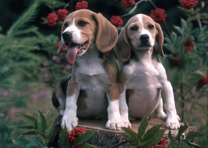 Animal Greeting Card featuring the photograph Beagles by Hans Reinhard