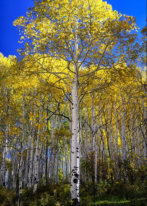 Aspen Tree Greeting Card featuring the photograph Beautiful Aspen Tree by Rendell B