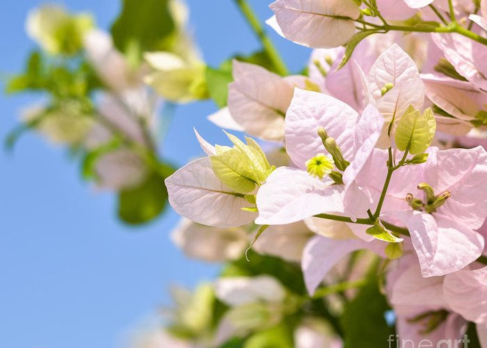 Bougainvillea Greeting Card featuring the photograph Beautiful Bougainvillea Flowers Against Blue Sky by Aleksandar Mijatovic
