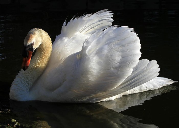 Swan Greeting Card featuring the photograph Beautiful Display by Donna Kennedy