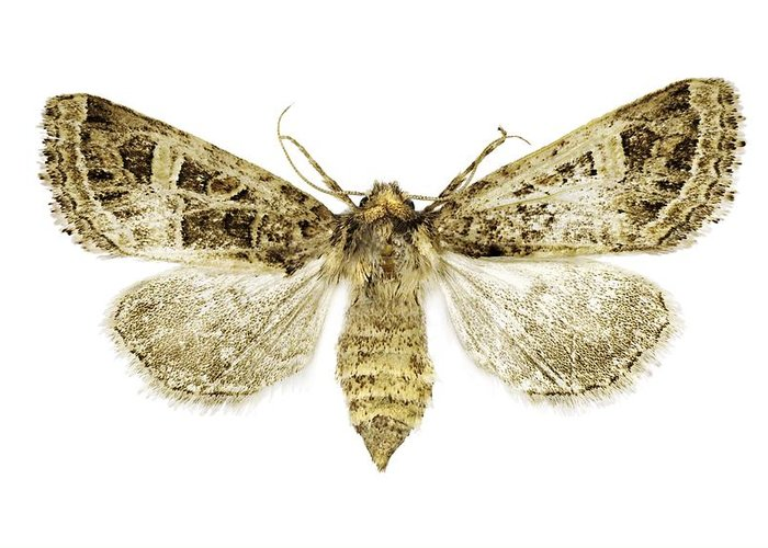 Entomology Greeting Card featuring the photograph Beautiful Gothic Moth by Science Photo Library
