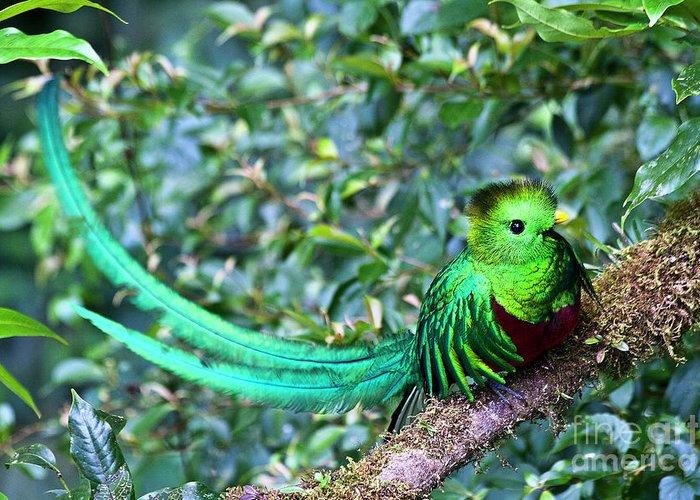 Bird Greeting Card featuring the photograph Beautiful Quetzal 3 by Heiko Koehrer-Wagner