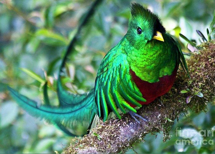 Bird Greeting Card featuring the photograph Beautiful Quetzal 4 by Heiko Koehrer-Wagner