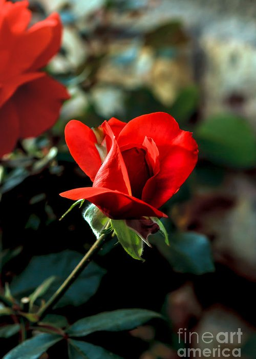 Perennial Greeting Card featuring the photograph Beautiful Red Rose Bud by Robert Bales