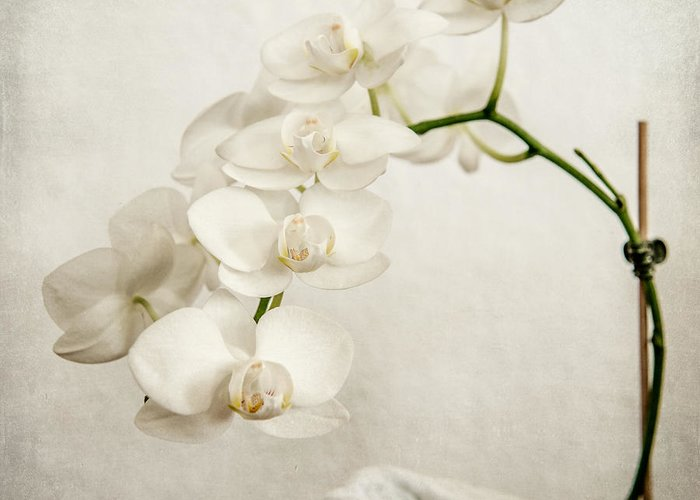 1x1 Greeting Card featuring the photograph Beautiful White Orchid II by Hannes Cmarits