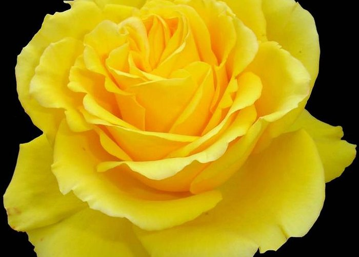 Beautiful Yellow Rose Flower On Black Background Greeting Card For