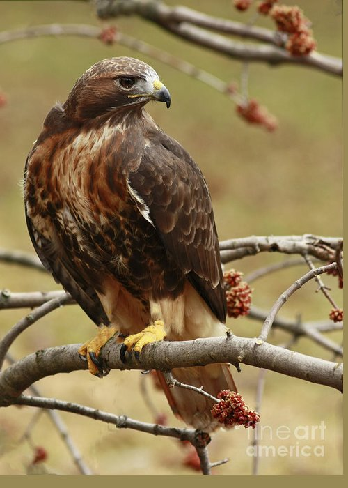 Beauty Greeting Card featuring the photograph Beauty In Nature Red Tailed Hawk In The Spring by Inspired Nature Photography Fine Art Photography