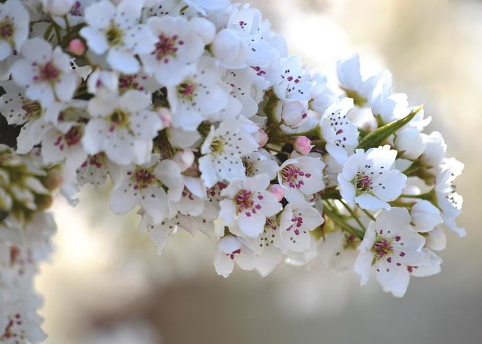 White Greeting Card featuring the photograph Beauty Of Spring by P S