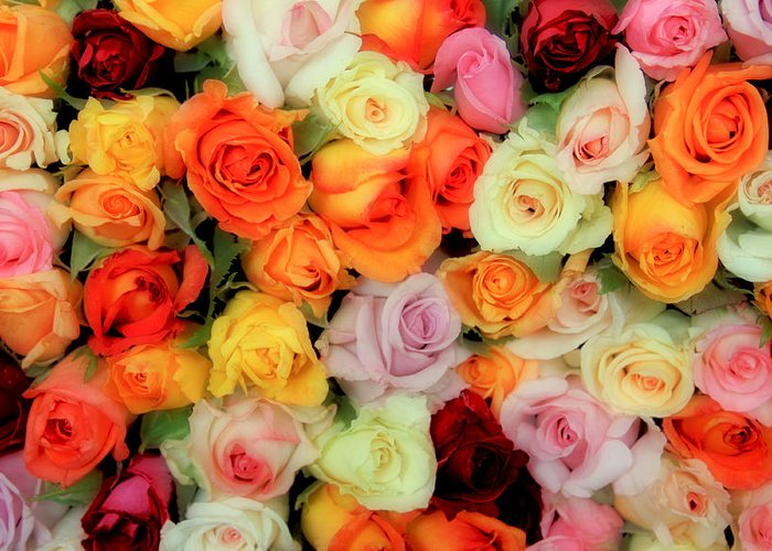 Roses Greeting Card featuring the photograph Bed Of Roses by Tony Grider