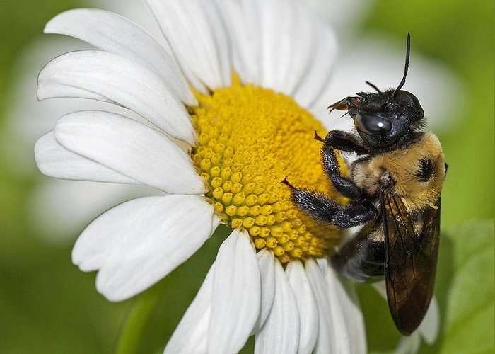 Bee Greeting Card featuring the photograph Bee And Daisy by Emma England