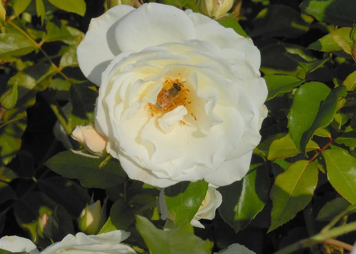 Rose Greeting Card featuring the photograph Bee In A White Rose by Kay Gilley