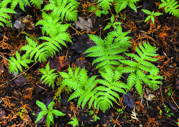 Ferns Greeting Card featuring the photograph Beech Fern Colony by Christopher Burnett