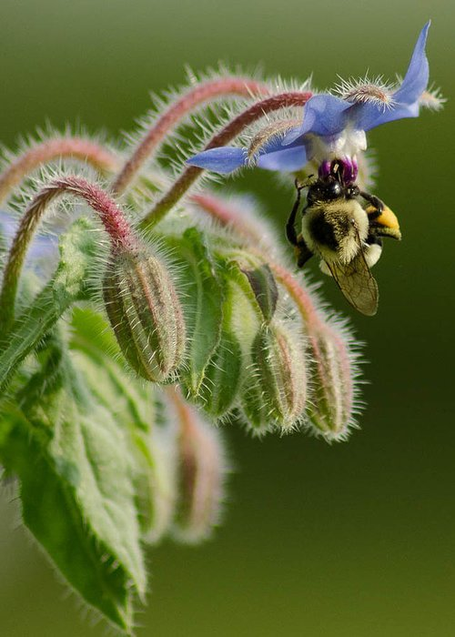 Bee Greeting Card featuring the photograph Bees Love Borage by Maria Suhr