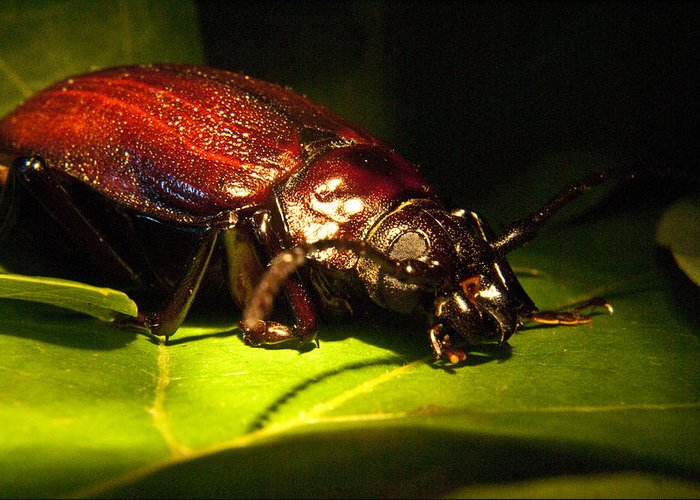 Beetle Greeting Card featuring the photograph Beetle With Powerful Mandibles by Douglas Barnett