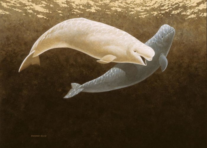 Whales Greeting Card featuring the painting Belugas by Richard Ellis