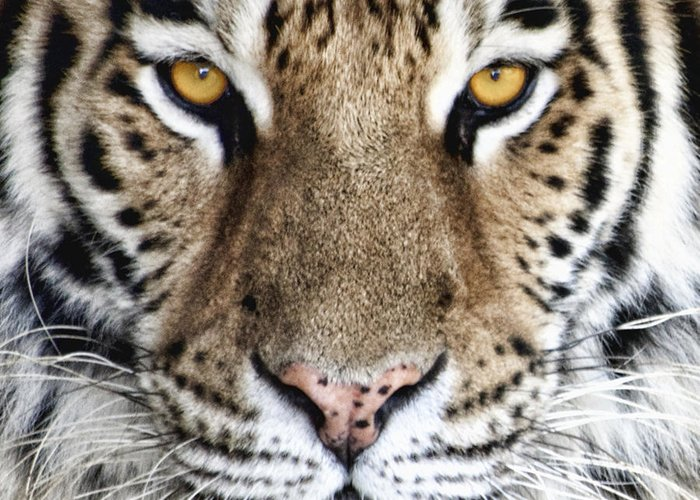 Tiger Greeting Card featuring the photograph Bengal Tiger Eyes by Tom Mc Nemar