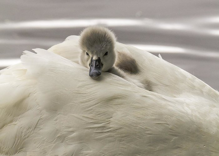 Cygnet Greeting Card featuring the photograph Best Down Pillow by Will Bailey