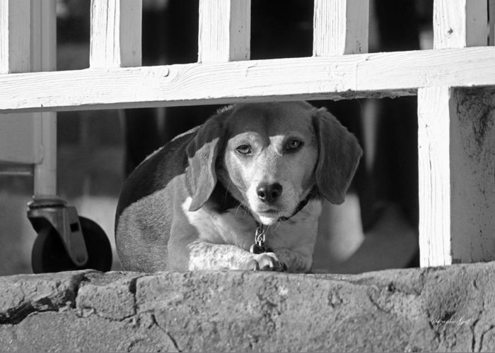 Dog Greeting Card featuring the photograph Beware - Guard Beagle On Duty In Black And White by Suzanne Gaff