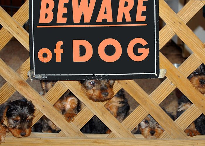 Yorkie Greeting Card featuring the photograph Beware Of Dog by John Dauer