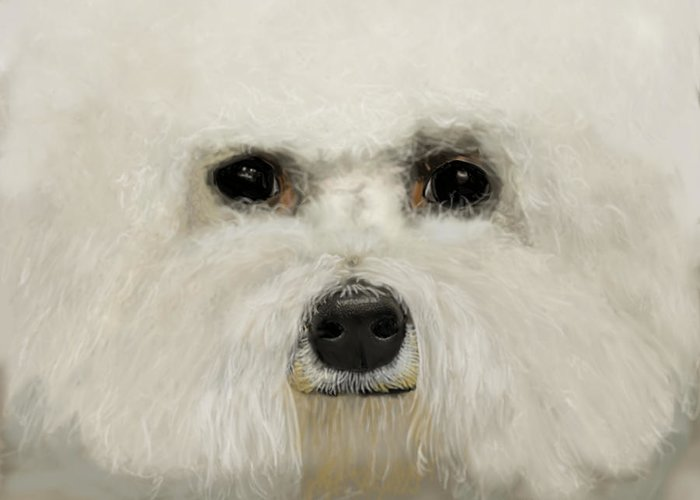 Bichon Frise Greeting Card featuring the drawing Bichon Frise by Myke Irving