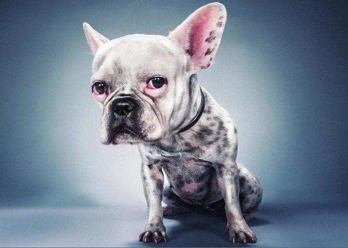 French Bulldog Photographs Greeting Cards