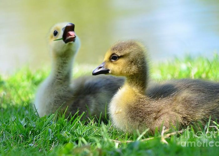 Goose Greeting Card featuring the photograph Big Yawn by Kathleen Struckle