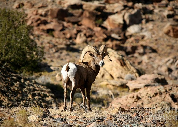 Wildlife Greeting Card featuring the photograph Bighorn Stare by Gary Emilio Cavalieri