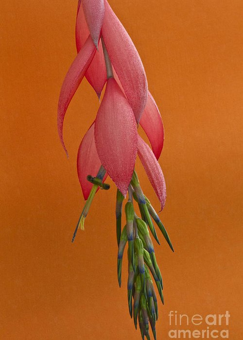 Heiko Greeting Card featuring the photograph Bilbergia Windii Blossom by Heiko Koehrer-Wagner