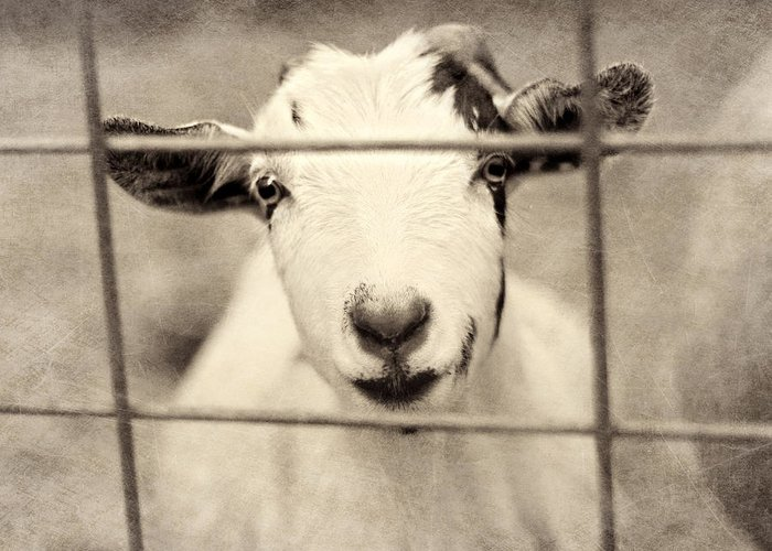 Goat Greeting Card featuring the photograph Billy G by Amy Tyler
