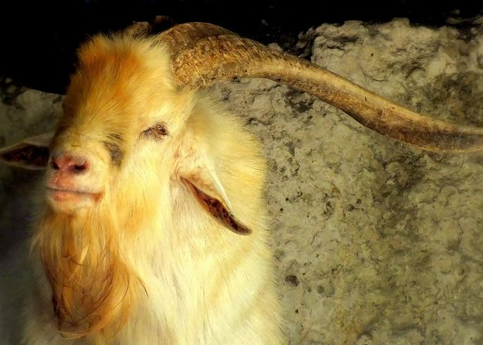 Goats Greeting Card featuring the photograph Billy Goat Gruff by Karen Wiles