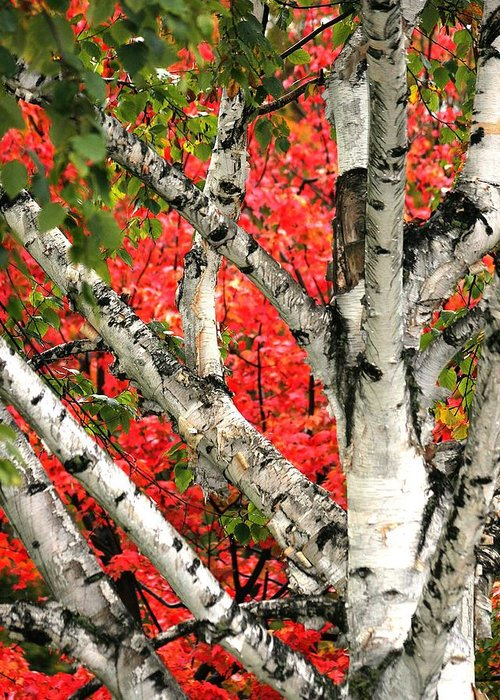 Birch Greeting Card featuring the photograph Birch Eclipsing Maple by Doris Potter