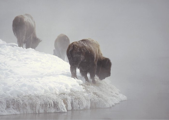 Feb0514 Greeting Card featuring the photograph Bison Along Snowy Riverbank Yellowstone by Konrad Wothe
