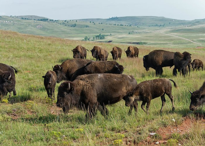 Grass Greeting Card featuring the photograph Bison Buffalo In Wind Cave National Park by Mark Newman