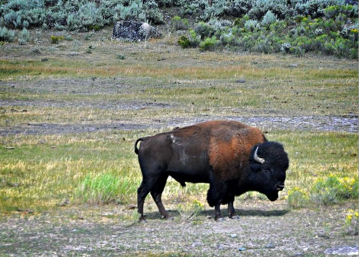 Bison Greeting Card featuring the photograph Bison In Lamar Valley by Marty Koch