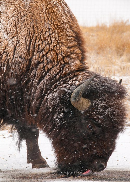 Colorado Pictures Greeting Card featuring the photograph Bison In Snow_1 by Tom Potter
