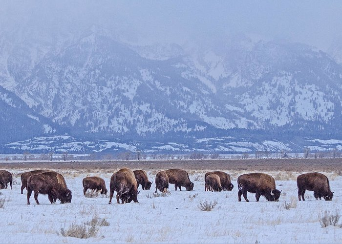 Antelope Flats Greeting Card featuring the photograph Bison On Antelope Flats by Barbara Hayton