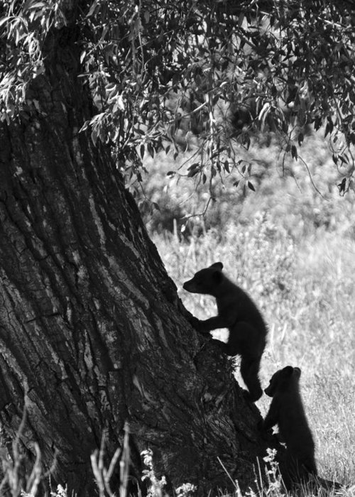 Black Bear Greeting Card featuring the photograph Black Bear Cubs Climbing A Tree by Crystal Wightman