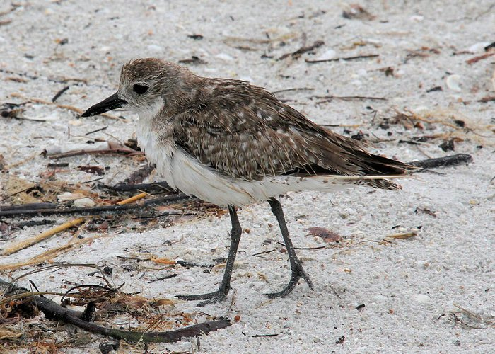 Black-bellied Plover Greeting Card featuring the photograph Black-bellied Plover by Doris Potter