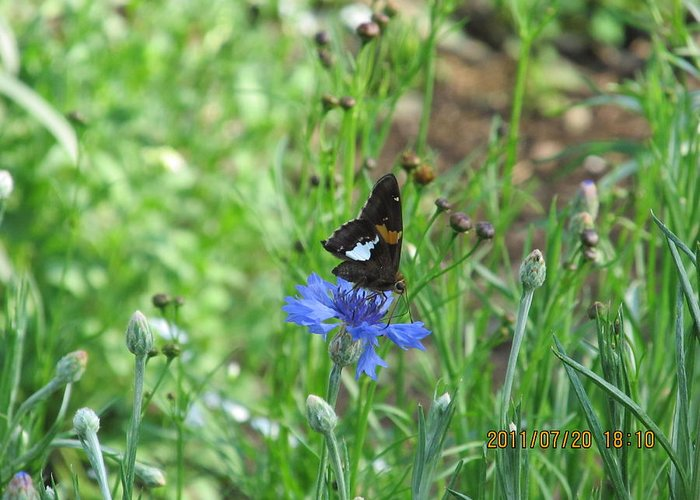 Butterfly Greeting Card featuring the photograph Black Butterfly by Tina M Wenger