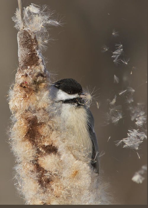 Black-capped Greeting Card featuring the photograph Black-capped Chickadee In Winter by Mircea Costina Photography