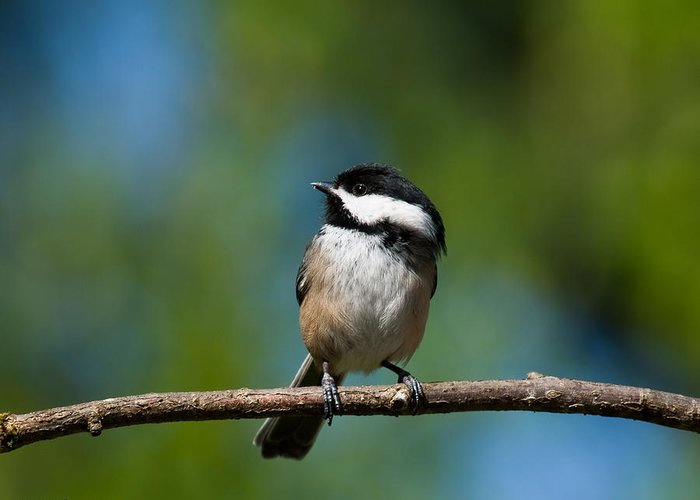 Animal Greeting Card featuring the photograph Black Capped Chickadee Perched On A Branch by Jeff Goulden