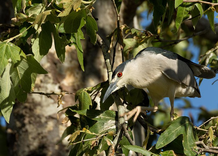 Black-crowned Night Heron Greeting Card featuring the photograph Black-crowned Heron Looking For Nesting Material by Kathleen Bishop