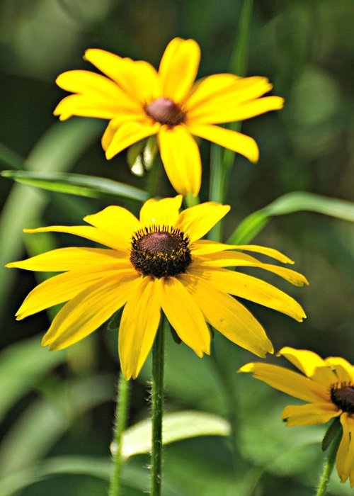 Flowers Greeting Card featuring the photograph Black Eyed Susan by Marty Koch