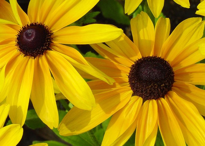 Black Eyed Susan Greeting Card featuring the photograph Black-eyed Susans Close Up by Suzanne Gaff