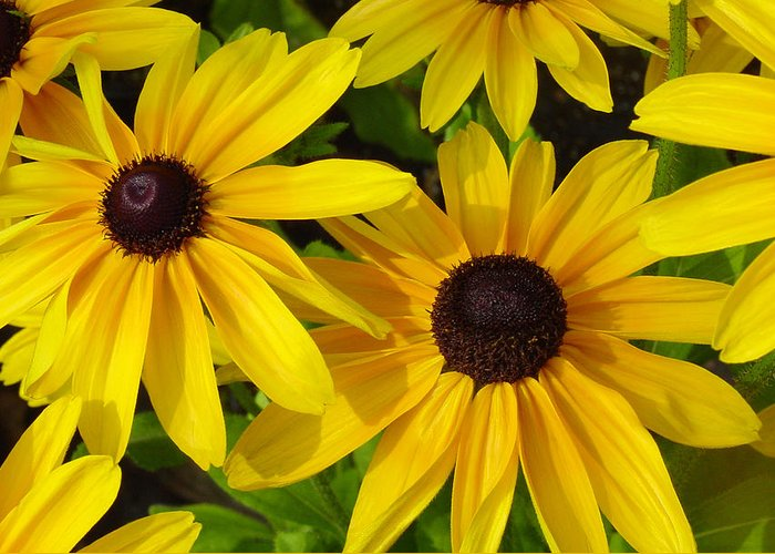 Black Eyed Susan Greeting Card featuring the photograph Black Eyed Susans by Suzanne Gaff